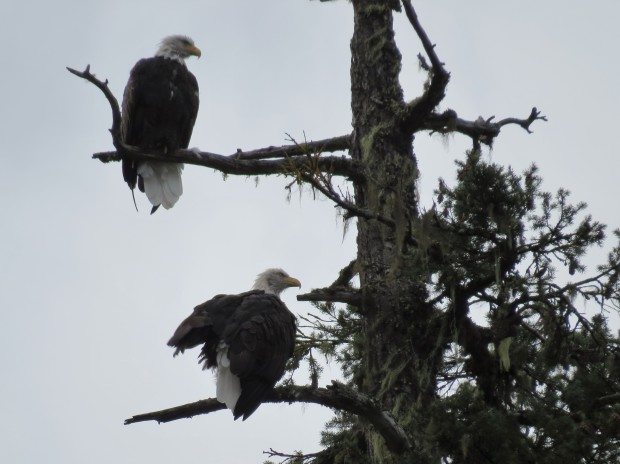 ...and plenty of eagles, like this mature pair...